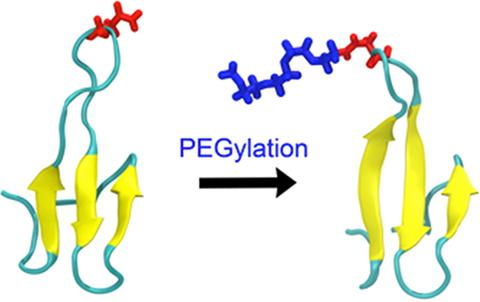 Two Structural Scenarios for Protein Stabilization by PEG. | The ...